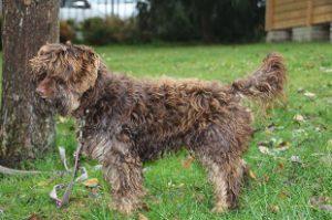 Mischlingshund Zottel