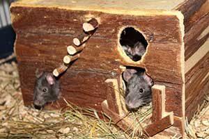 Ratten im Versteck