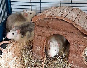 neue Ratten