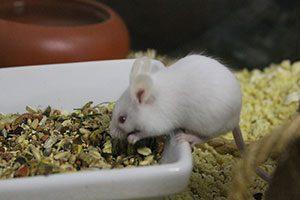 weiße Maus beim Fressen